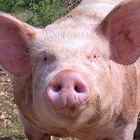 Top 10 des mots cochons