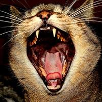 Baillement chat - Photo d'illustration