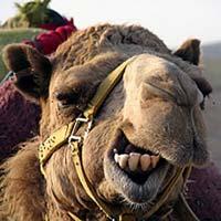 Le chameau d'Ératosthène