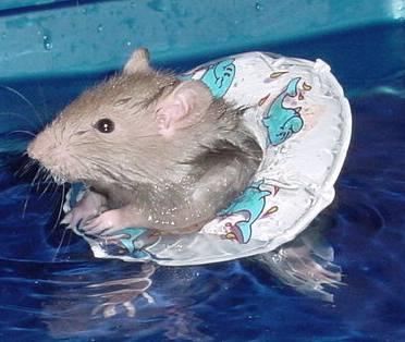 Un rat mignon et sa bouée