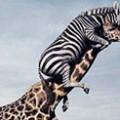 zebre-peigne-la-girafe-vignette