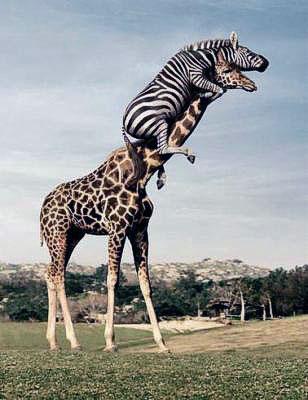zebre-peigne-la-girafe