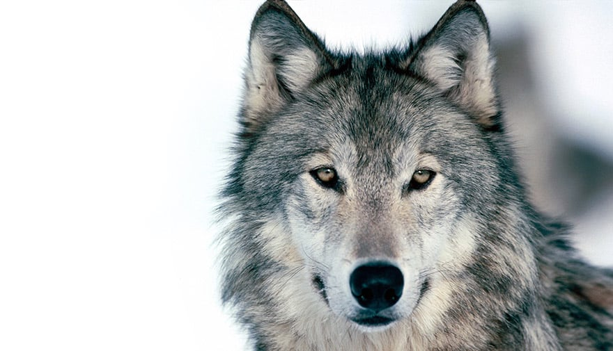 homme-est-un-loup-pour-homme