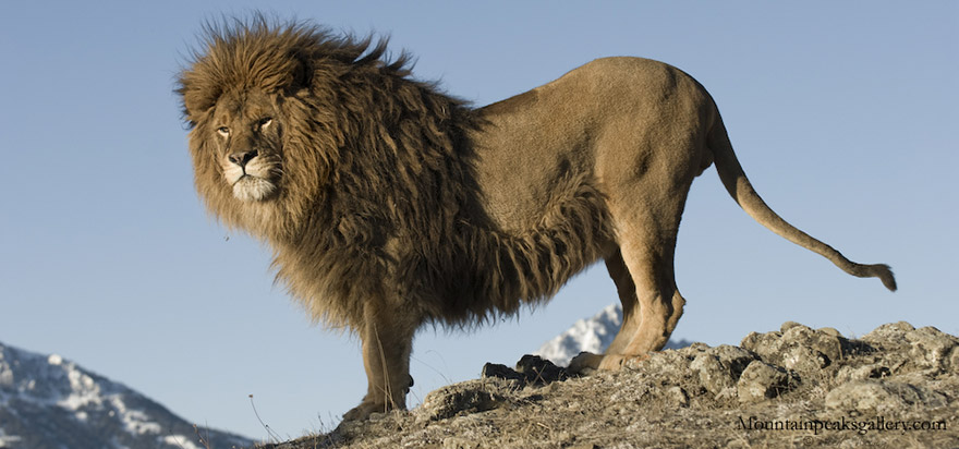 lion-de-barbarie